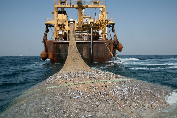 AFRIKA SCH 24 SCHEVENINGEN, dutch super trawler fishing 30 miles off the coast of Mauritania, fish net